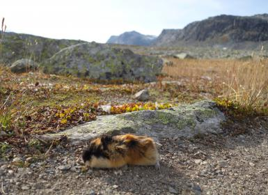 Lemming, mountains